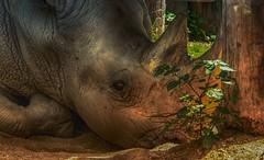 A dreamy rhino (Delbrücker) Tags: rhino nashorn animal tier outdoor nature natur nikond610 nikkor 70200 28
