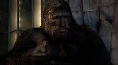 Sometimes I'm taken by myself. (pooshda) Tags: kingkong kong king gorilla beast monster amazing photomanip photomanipulation photoshop lightroom whitetoblackskin colorchange ape primate movie cinematic mashup faceswap sony alpha a7rii zeiss 55mm retouching colorgrading