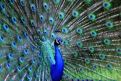 Peacock on Brownsea Island (BitRogue) Tags: nikon d800 80400mm 80400 brownsea island dorset england nature wildlife peacock feathers capturenx2