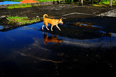 ,, Mama, Roof, Reflection ,, (Jon in Thailand) Tags: blue red reflections rainwater roof mama dog k9 green smile jungle thedogpalace happydog mamashappy tail curl nose ears eyes happyeyes grass flatroof cementroof littledoglaughedstories