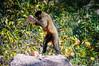 "Bearded Capuchin <a style=""margin-left:10px; font-size:0.8em;"" href=""http://www.flickr.com/photos/41134504@N00/17349123885/"" target=""_blank"">@flickr</a>"
