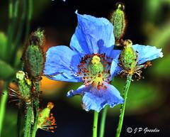 REFORD GARDENS   |      EMBLEM  |   |     BLUE POPPY   |  PAVOT BLEU          |     REFORD GARDENS  |      LES JARDINS DE METIS  |  METIS   |  GASPESIE  |  QUEBEC  |  CANADA (J.P. Gosselin) Tags: ph:camera=canon reford gardens | emblem blue poppy pavot bleu les jardins de metis gaspesie quebec canada canoneosrebelt2i canoneos7d rebel t2i canon7dmarkii canon 7dmarkii 7d markii mark ii canon7d eos7d canoneos eos