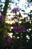 DSC_0511 (Joseph.Monk.Photography) Tags: flowers sunset lake flower nature nikon rickmansworth nikond3200 aquadrome stockers d3200