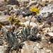 hoary groundsel, Packera werneriifolia (& friends)
