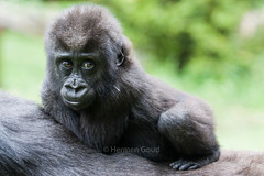 Burgers Zoo Arnhem 2015 : Baby Gorilla (Hermen Goud Photography) Tags: animals zoo gorilla arnhem dieren dierentuin zoogdieren burgersdierenpark