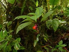 Gesneriaceae (Ecuador Megadiverso) Tags: naturaleza flower macro southamerica nature fleur ecuador flora wildlife natur flor equateur gesneriaceae blume makro fiore equador biodiversity biodiversidad sdamerika neotropical neotropics andreaskay