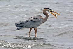 Fish Flipping (Digital Biology) Tags: fish nikon hunting flip greatblueheron ardeaherodias faybainbridge
