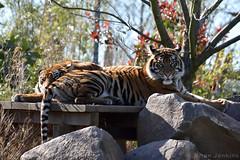 Sumatran Tigers (Bri_J) Tags: uk zoo nikon cheshire tiger chester bigcat sumatrantiger chesterzoo pantheratigris pantheratigrissumatrae d7200
