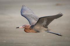 Red Flyer (gseloff) Tags: bird beach sand texas wildlife bif reddishegret galvestoncounty houstonaudubonsociety gseloff bolivarflatsshorebirdsanctuary