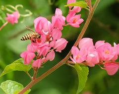 Heisenberg's Principle of Uncertainty (Robert-Ang) Tags: wow singapore bee chinesegarden honeybee coralvine quantumphysics gardenoffragrance heisenbergsprincipleofuncertainty