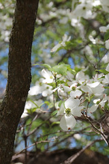 IMG_6540.jpg (She Curmudgeon) Tags: 2016 arboretum arnoldarboretum dogwood lilac lilacsunday