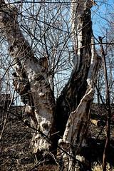 When lightning strikes (vinnie saxon) Tags: tree nature treetrunk fujifilm lightning