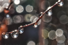Raindrops On Branches-HBW! (Jo-Happy 5th B-Day Shizandra :)) Tags: droplets bright bokeh branches inthebackyard sunbursts bokehwednesdays bokehwednesdaytoo