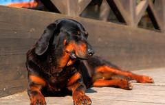 DSC09540_1_2 (lelou66) Tags: chien dog hdr wood bois animaux hdrenfrancais