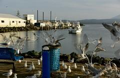 Seagulls (jack eastlake) Tags: sea seagulls port coast fishing harbour cove gulls south valley nsw eden fleet far snug bega