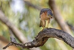 a brown goshawk feeding 1.0 (Fat Burns  (gone bush)) Tags: bird nature fauna hawk raptor australianbird barcaldine australianfauna browngoshawk accipiterfasciatus aliceriver nikond610 sigma150600mmf563dgoshsmsports