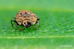 Jewel beetle (Habroloma sp.) - DSC_2381 (nickybay) Tags: macro singapore beetle jewel bukitbatok buprestidae bukitbatoknaturereserve habroloma