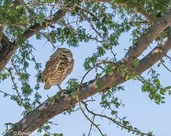 Sentry Owl #2.jpg (dwhannon.photog) Tags: arizona burrowingowl casagrande