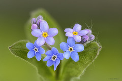 Forget-Me-Knot (Lindaw9) Tags: flowers spring may foliage buds forgetmeknots