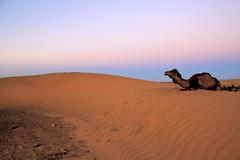 IMG_3212 (rachel_salay) Tags: africa camels zagora morrocco saharadesert desertsunrise