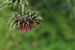coccinelle sur chardon (bulbocode909) Tags: nature fleurs rouge vert printemps insectes coccinelles chardons