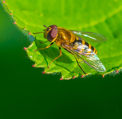 Warming up. (Omygodtom) Tags: shadow detail macro texture nature bug insect outdoors fly leaf wildlife tamron animalplanet hoverfly tamron90mm d7100 macromonday