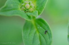Very Small Oregano Loving Ant (Gabriel FW Koch) Tags: pink red orange black detail green texture yellow closeup bug garden insect eos dof bokeh gardening ant 100mm herb oregano herbgarden lseries