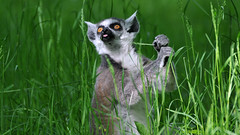 Not so Tasty? - Explored 31. May 2016 (Nephentes Phinena ☮) Tags: lemur ringtailedlemur katta zooschwerin nikond300s