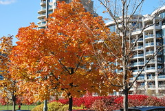 fall_237 (HomicidalSociopath) Tags: autumn trees toronto color tree fall leaves leaf nikon seasons waterfront lakeshore indiansummer d60