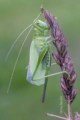 Grasshopper (Darius Bauys) Tags: detail macro green nature insect cricket tettigoniidae tettigonia iogas cantans giesmininkas
