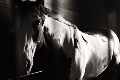 (Caleigh Anne) Tags: blackandwhite horse film barn analog 35mm canon utah texas ae1 farm painted pony stable equestrian pinto