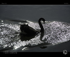 Swan in Motion (tomraven) Tags: light motion water reflections swan blackswan v2 nikon1 tomraven aravenimage q22016
