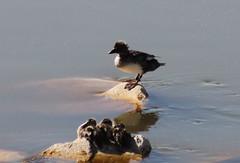 IMG_1231 Common goldeneye and Mallard ducklings (Jon. D. Anderson) Tags: bird duck ducklings antelopeisland greatsaltlake mallard goldeneye commongoldeneye bucephalaclangula