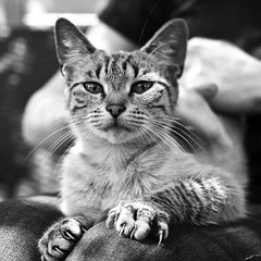 Il nest si petit chat qui ngratigne. (Laph95) Tags: nb bw monochrome animal chat cat eyes glance gaze regard flin poil caresse square pet