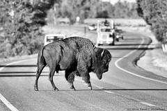 Lead, Follow or Get Out of the Way (David C. McCormack) Tags: west buffalo wildlife bull western wyoming bison moran jacksonhole grandtetonnationalpark americanbison jacksonwyoming northamericanwildlife moranjunction