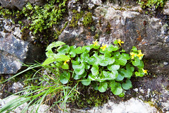 160517_083203_AB_3841 (aud.watson) Tags: europe slovenia vintgargorge radovariver radovnavalley gorge river rocks wildflower