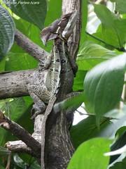 Basiliscus vitattus (.:PaTrI:.) Tags: basilisco basiliscusvitattus reptil costarica heredia forest biodiversity biodiversidad lumix panasonic