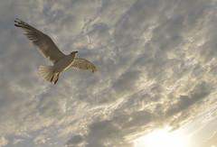 freedom (unisonik) Tags: freiheit möwe fiskmås freedom frihet seagull