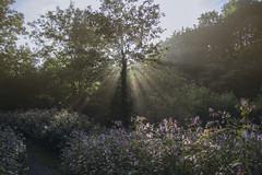 Morning light, Afan Valley, Wales (Ken Marten) Tags: morning morningdew sunrise wales himalayanbalsam impatiensglandulifera