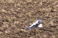 Envol de cigogne (lecycliste57) Tags: nature cigogne animal vol