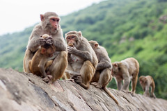 Jaipur, India (Aicbon) Tags: verde mono monkey temple galwarbagh monkeytemple animal wild animals animales family jaipur rajasthan india macaco galta templodegalta chanakyaouri rajastan canon eos 500d monsoon monzon