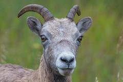 Bighorn sheep - Jasper NP - Alberta (bart coessens) Tags: animals animal bighorn bighornsheep mammal mammals wildlife wildanimals wild jasper jaspernationalpark alberta canada rockymountains
