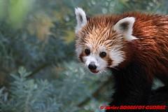 Canberra Zoo - Red panda (Firefox) (soyouz) Tags: aus australiancapitalterritory australie curtin geo:lat=3530070334 geo:lon=14906942894 geotagged animals pandaroux canberra australiel