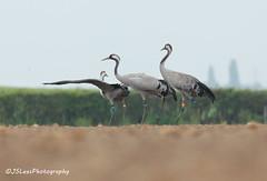 Common Cranes (James Lees Photography) Tags: england birds rural spring crane farmland gloucestershire cranes britishwildlife wwt waterbirds slimbridge commoncrane britishbirds wwtslimbridge wildfowlwetlandtrust britishfarmland thegreatcraneproject jsleesphotography