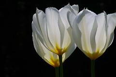 tulip trio (wundoroo) Tags: flowers white newyork three spring bronx tulip april backlit trio nybg backlighting tulipa newyorkbotanicalgarden onblack seasonalwalk