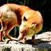 Japanese Red Fox : ホンドギツネ