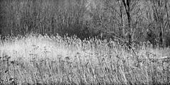 L'orée/The edge/El borde [ Explored ] (Elf-8) Tags: wood field grass edge fujifilm xt1 parcnationaldesîlesdeboucherville