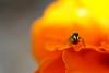 YFabre_2006-05-26_17-38-44.jpg (Yannick Fabre) Tags: france macro fleurs type animaux plantes montauban araignée lieux tarnetgaronne midipyrénées oeilletdinde prisedevue salticide 1ruepauletteferlin