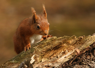 Red Squirrel  (Sciurus vulgaris).Explored.