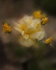 (David Gilson) Tags: roses flower texture yellow photoshop garden outdoors petals nikon soft mygearandme nikond610